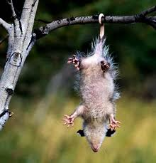 dato opossum